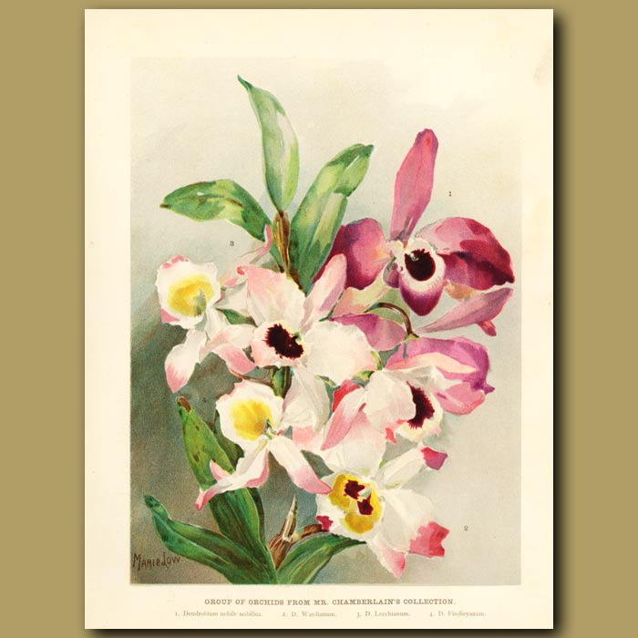 Antique print. Group of orchids from Mr. Chamerlain's collection