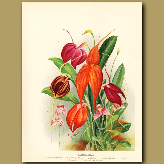 Antique print. Masdevallia Orchids
