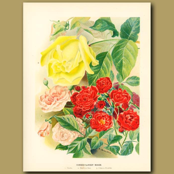 Antique print. Conservatory roses