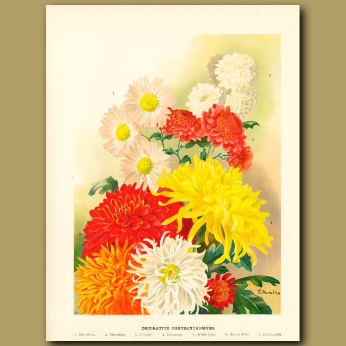 Antique print. decorative Chrysanthemums