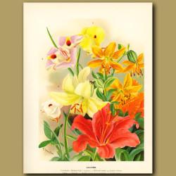 Lilys (Liliums)