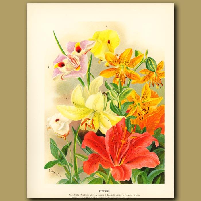 Antique print. Lilys (Liliums)