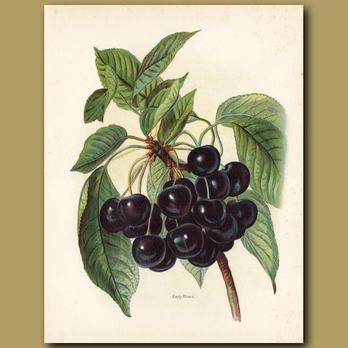 Antique print. Cherries