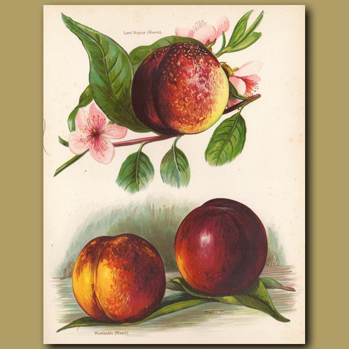Antique print. Nectarines