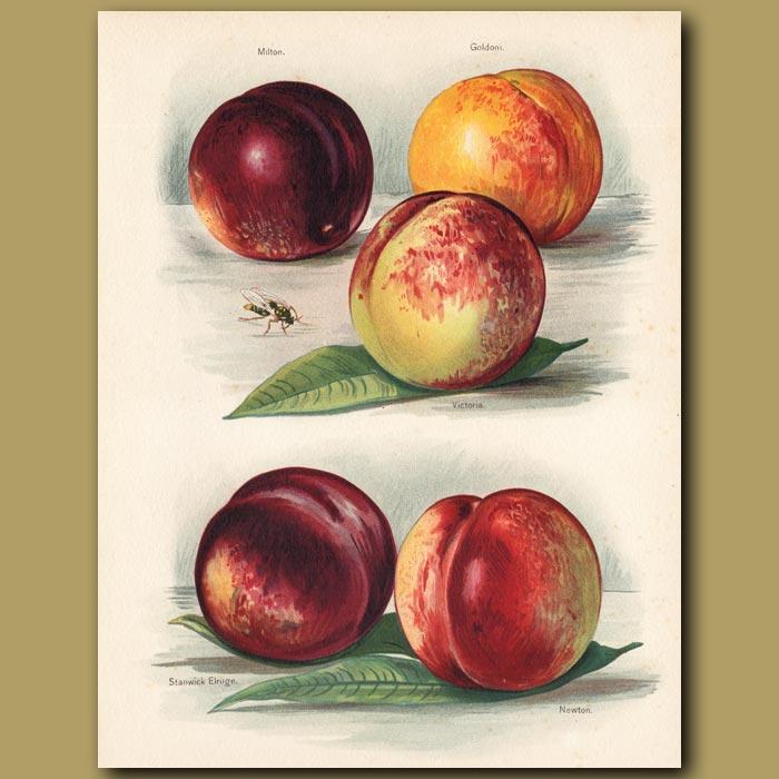 Antique print. Peaches