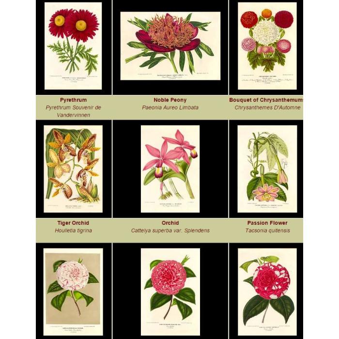 Antique print. High Res Images: 38 Botanical Artworks From L'illustration Horticole Journal Special Des Serres Et Des Jardins