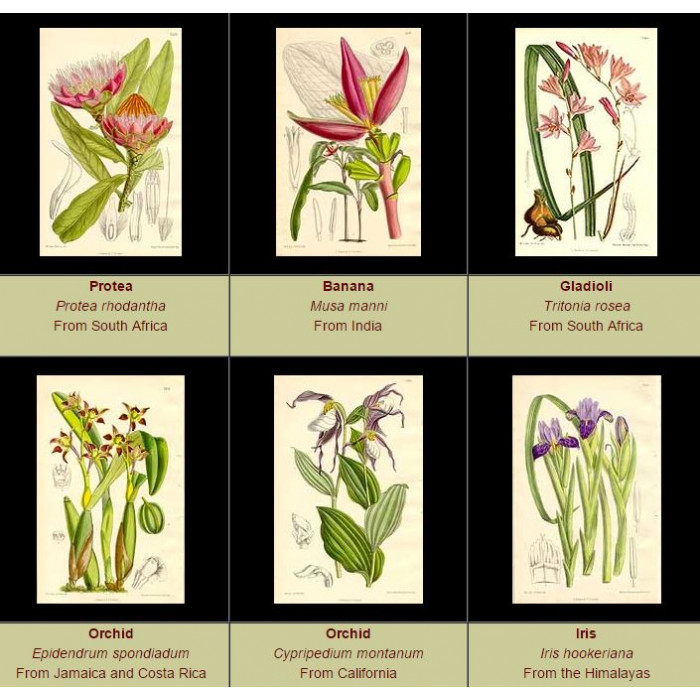 Antique print. High Res Images: 60 Artworks From The Botanical Magazine by William Curtis