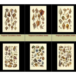 High Res Images: 27 Antique Engravings Of Seashells By George Sowerby