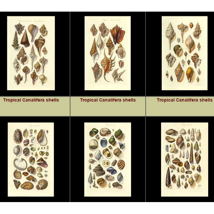 Antique print. High Res Images: 27 Antique Engravings Of Seashells By George Sowerby