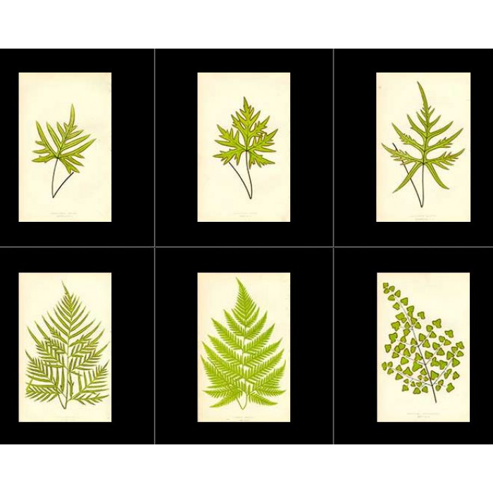 Antique print. High Res Images: 40 Ferns By Edward Lowe