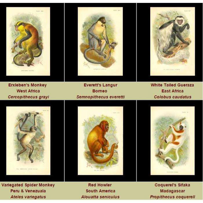 Antique print. High Res Images: 41 Monkeys By J.G.Keulemans