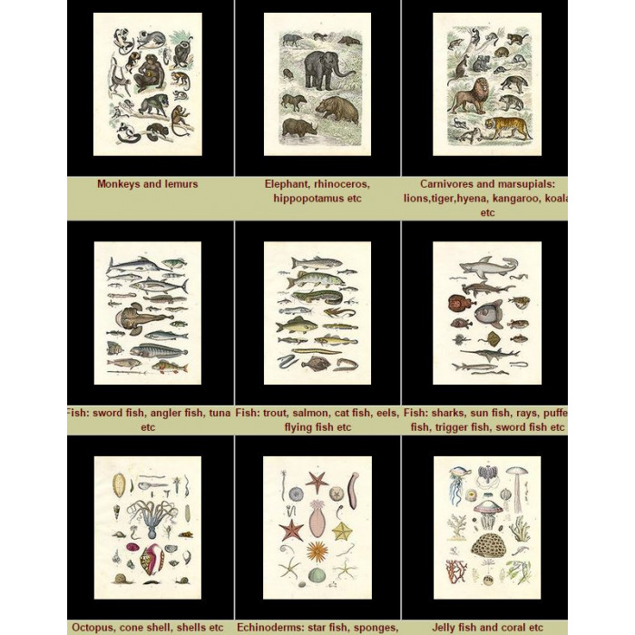 Antique print. High Res Images: 36 Pictures Of Animal Kingdom By Traugott Bromme