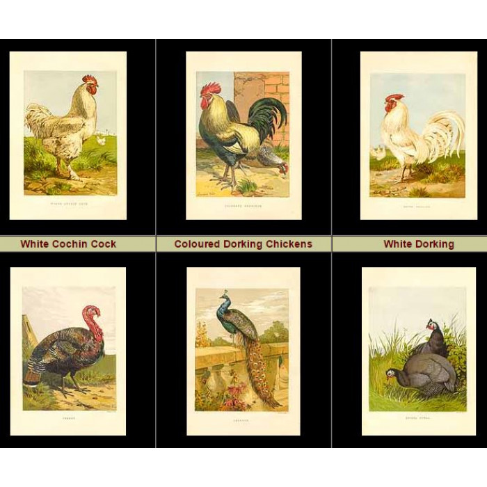 Antique print. High Res Images: 44 Poultry By Harrison Weir