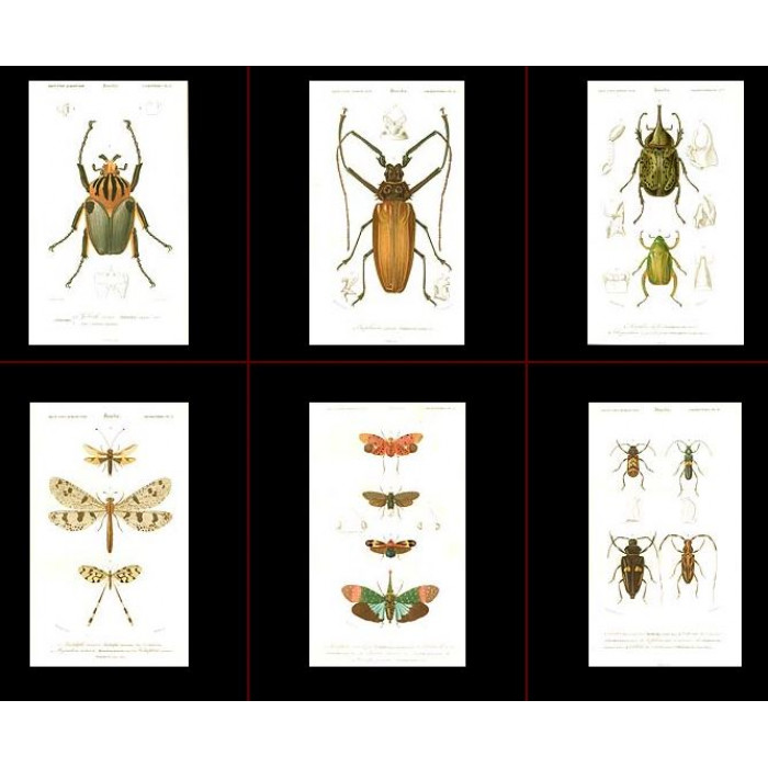 Antique print. High Res Images: 39 Insect Antique Prints By Charles Orbigny