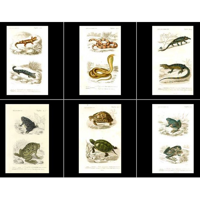 Antique print. High Res Images: 17 Reptile Antique Prints By Charles Orbigny