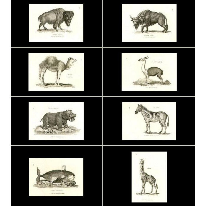 Antique print. High Res Images: 40 Mammal Antique Prints By George Shaw