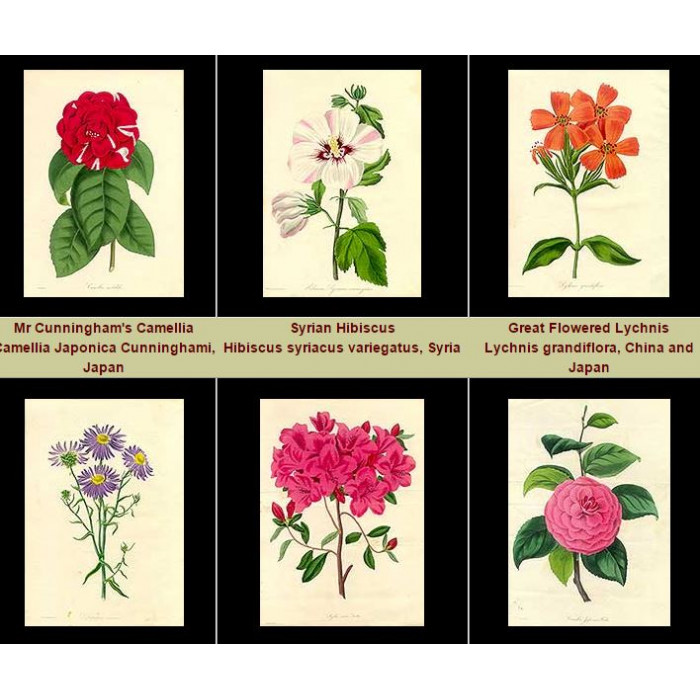Antique print. High Res Images: 28 Artworks From The Magazine of Botany by Joseph Paxton