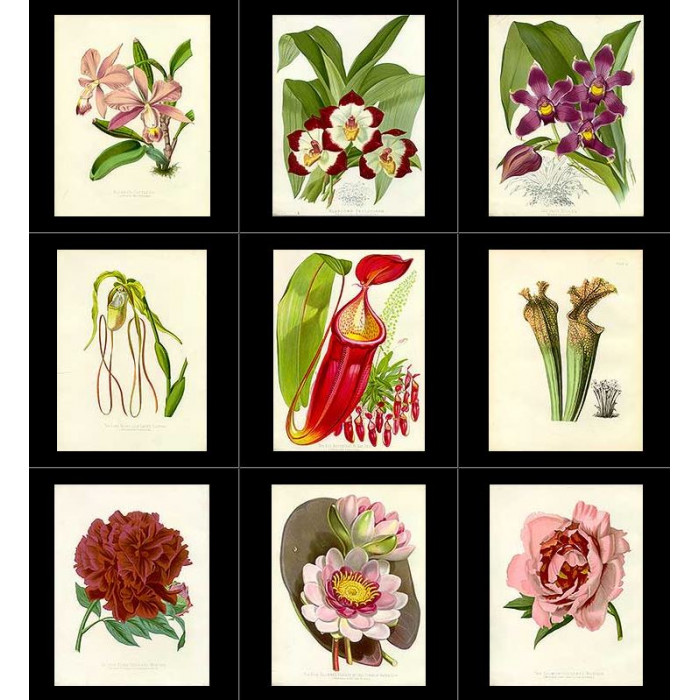 Antique print. High Res Images: 36 Artworks From The Flower Garden Displayed by Joseph Paxton