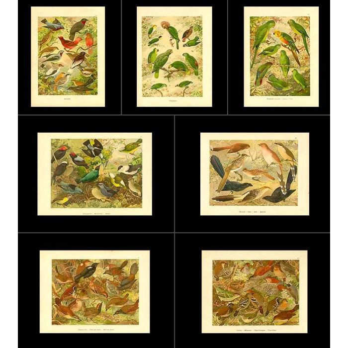 Antique print. High Res Images: 20 Birds Of Amazon By Goeldi