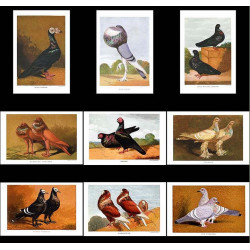 High Res Images: 22 Pigeons And Doves