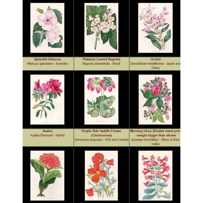 Antique print. High Res Images: 42 Artworks From The Magazine of Botany by Joseph Paxton