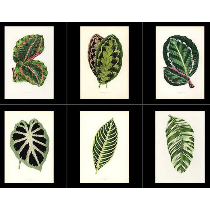 Antique print. High Res Images: 54 Beautiful Leaves by Hibberd