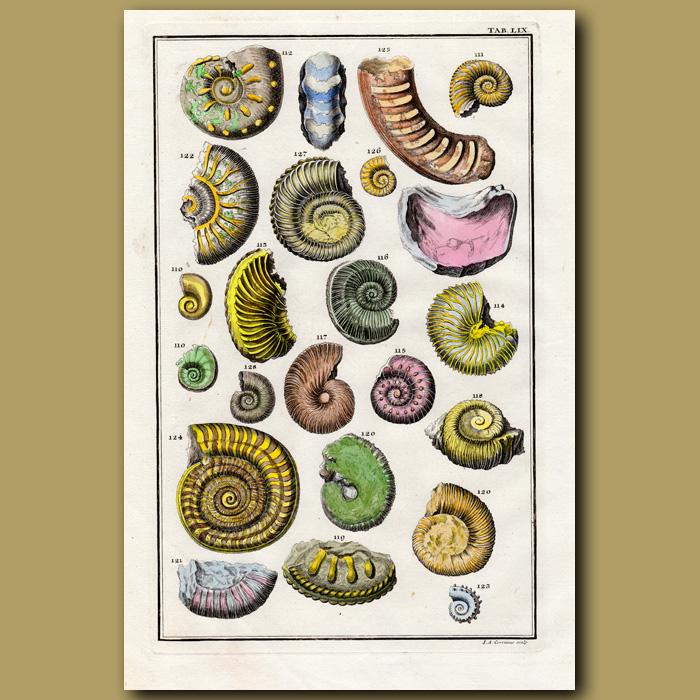 Antique print. Ammonites