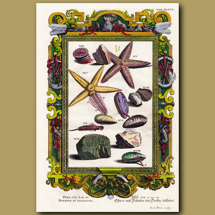 Antique print. Starfish And Shellfish