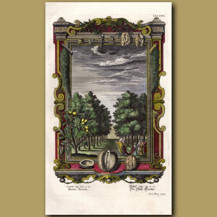 Antique print. Walnut and Lemon Trees