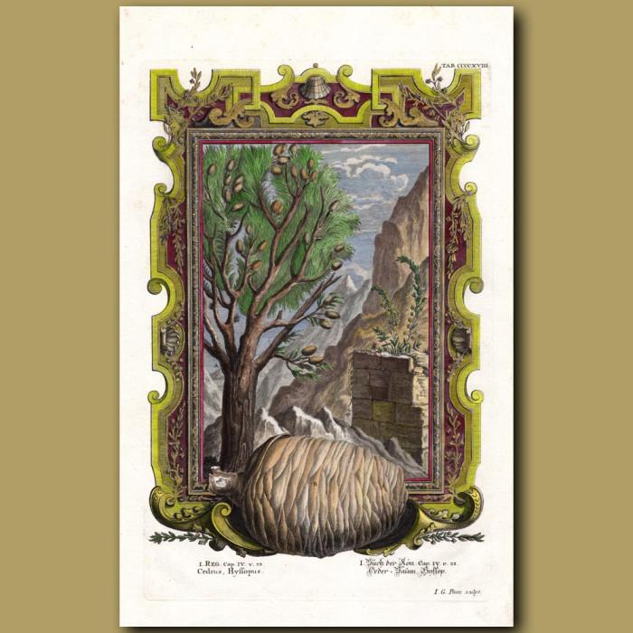 Antique print. Cedar Tree
