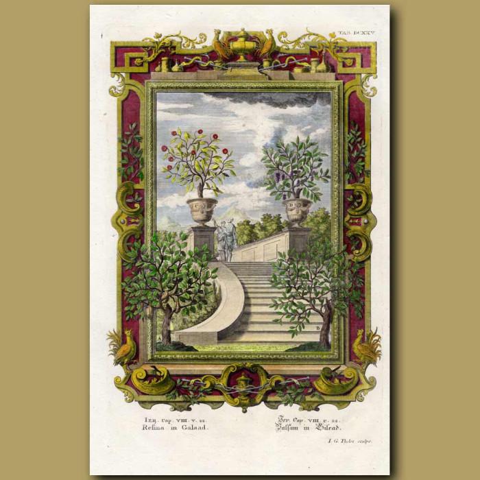 Antique print. Balm Of Gilead