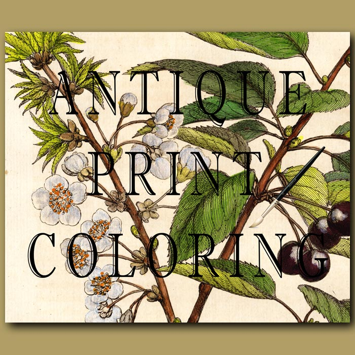 Hand Colouring Of Antique Print