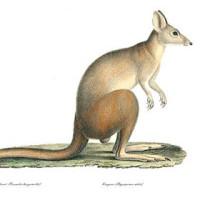 Marsupials and Monotremes