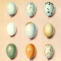 Birds' Nests & Eggs