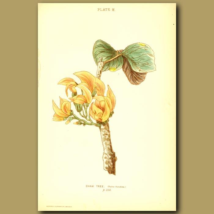 Antique print. Dhak Tree (Butea Frondosa)
