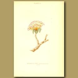 Moordhilla Tree (Barrington Speciosa)