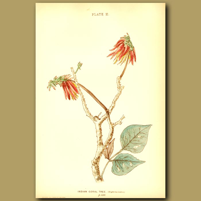 Antique print. Indian Coral Tree (Erythrina Indica)