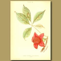Jungle Cotton (Bombax Malabaricum)