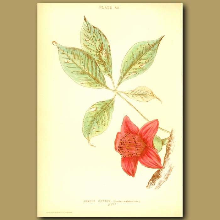 Antique print. Jungle Cotton (Bombax Malabaricum)