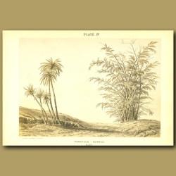 Pandanus And Bamboo in India