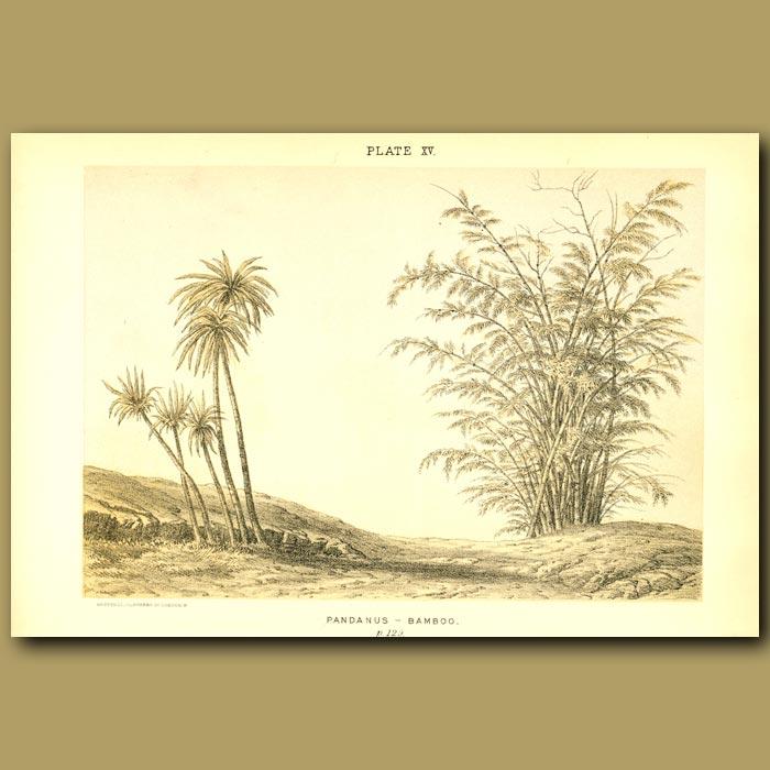 Antique print. Pandanus And Bamboo in India