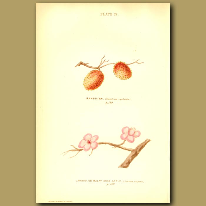 Antique print. Rambutan And Malay Rose Apple