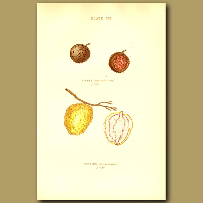 Antique print. Lychee And Pomaloe