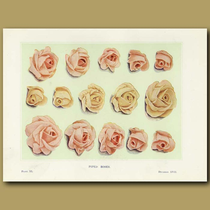 Antique print. Piped roses