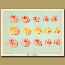 Piped Roses