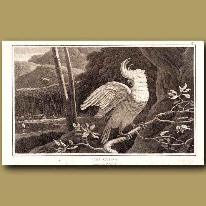 Cockatoo: Genuine antique print for sale.