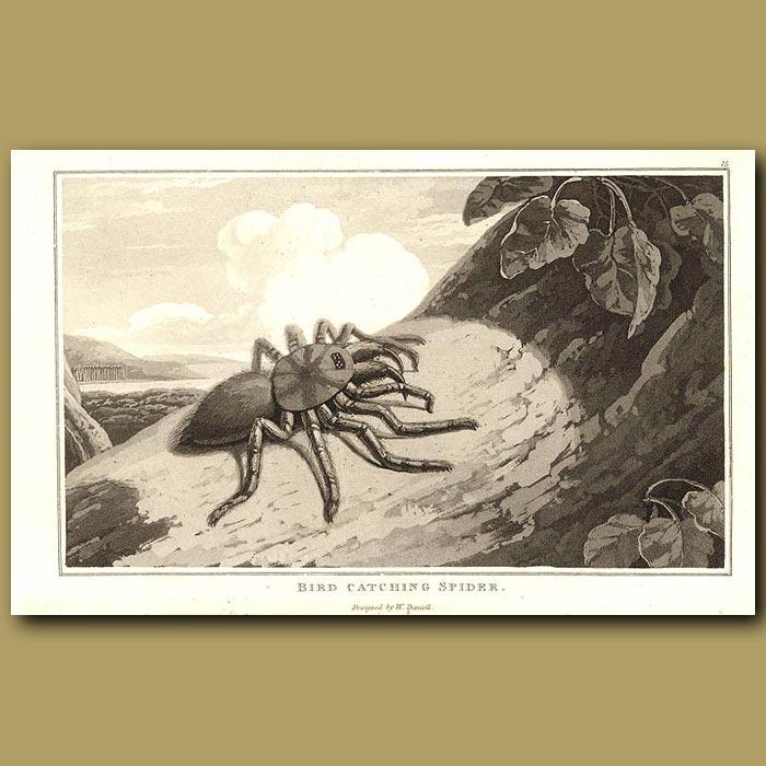 Antique print. Bird Catching Spider