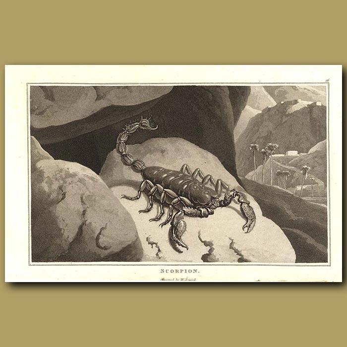 Antique print. Scorpion