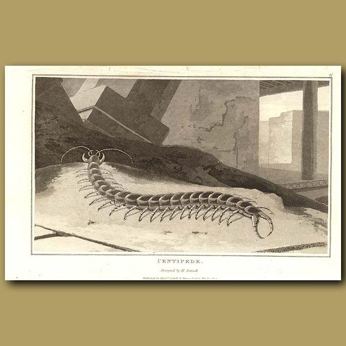 Antique print. Centipede