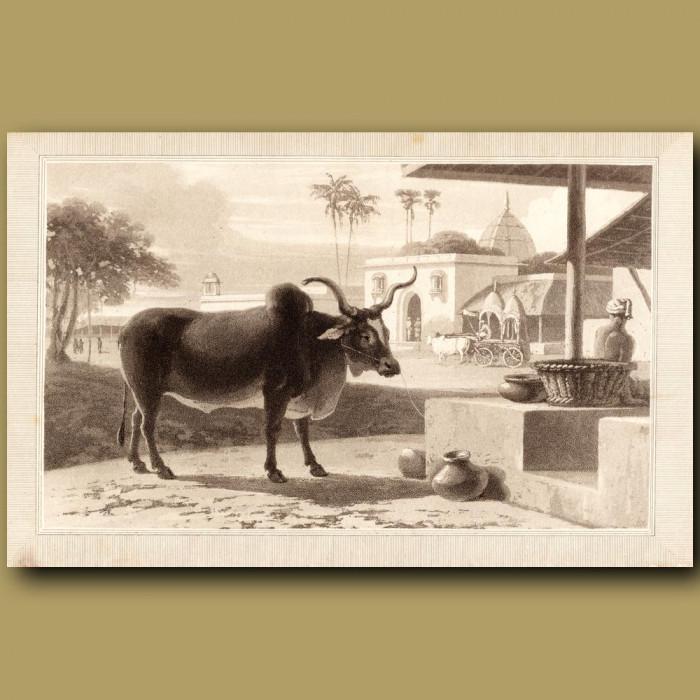 Ox: Genuine antique print for sale.